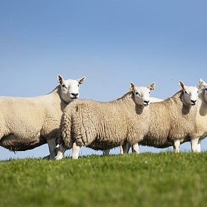 NSA North Sheep Event 2021