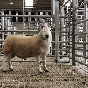 Monmouthshire Ram Sale Report 2020